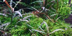 Hygrophila pinnatifida - Tropica Aquarium Plants