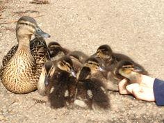 Ducklings at Benington, Herts