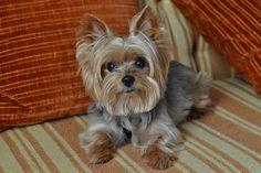 billy says bonjour! #yorkie #cuteness