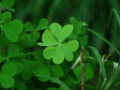 CLOVERS are everywhere if you're lucky *pun*, and edible! If you find grass you will most likely see this sprouting everywhere, their distinctive trifoil leafs are easy to spot, you can eat them raw but they taste better boiled.