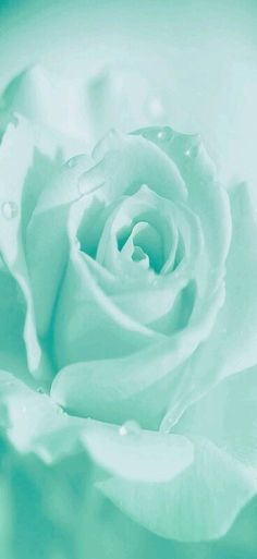 Mint rose
