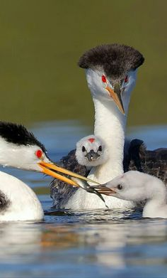 CLARK'S GREBES....live on large inland lakes in western North America and migrates to the Pacific coast in winter....measure 21.5 to 29.5 inches with a wingspan of 31.9 to 32.3 inches....feed by diving for carp, herring, mollusks, crabs, and salamander