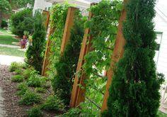 trellis screens with vines between arborvitaes