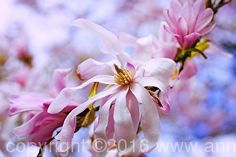 Sweet Magnolia Dreams, limited edition fine art print by Anna Porter digital photography ~ 16 x 24