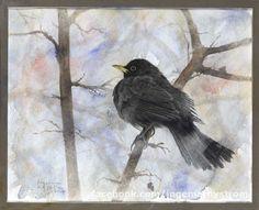 koltrast  blackbird amsel