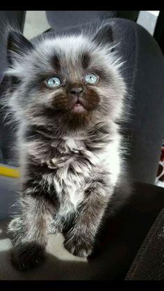 Wolf cat.