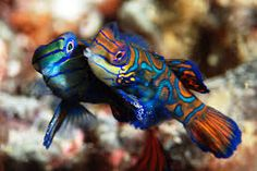 Mandarin fish mating dance - up, up, up they go.super-cute, super-cool, enough said :) Goby Fish, Underwater Creatures, Life Images, Love Birds, Under The Sea, Super Cute, Cool Stuff, Animals, Halo