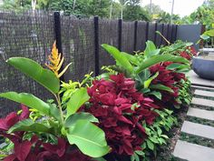 Heliconia lingulata, Red coleus and dwarf costus | Hortulus Landscapes |