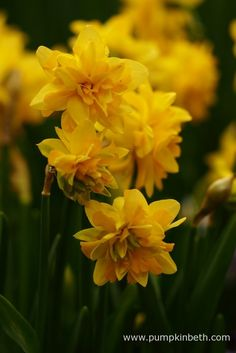 Narcissus 'Tête Bouclé', available from W & S Lockyer.