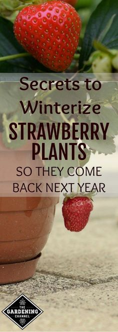 Winterize your strawberry plants so they can grow back every year. Try these tips for potted strawberry plants in your garden. #OrganicGardeningTips #LandscapingGarden