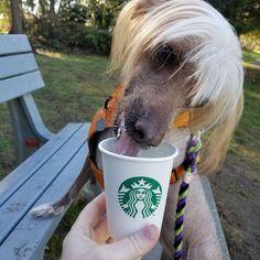 "Darby & Jello on Instagram: ""Birthday puppachino! ☆☆☆ #todayiam8 #starbucks #puppachino  #barkday #birthday #birthdaygirl #pupper #doggo #doglife #chinesecrested…"" Jello, Dog Life, Girl Birthday, Starbucks, Pup, Instagram, Dogs, Animals, Gelatin"