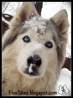 Pawsome Pet of the Week - Gibson the Husky