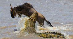 Укус это только начало - крокодилы утаскивают жертву под воду, где ей нечем дышать.