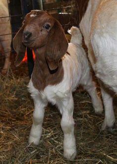 Baby boer goat kid