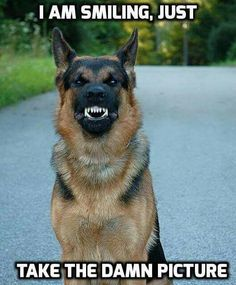 ADORABLE PISSED OFF GERMAN SHEPHERD LOL