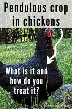 How to identify and treat pendulous crop in backyard chickens. This disorder is chracterized by a swollen, bulging crop and can sometimes lead to sour crop or other health problems. Heres how to diagnose and treat your hen. Cute Chickens, Raising Chickens, Chickens Backyard, Chicken Story, Chicken Pictures, Guinea Fowl, Chicken Humor, Coops, Healthy Chicken