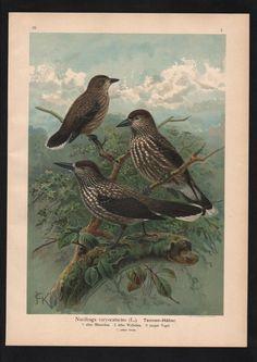 1880 - Tannenhäher Häher jay Vogel Vögel bird birds Farblithographie Naumann   eBay