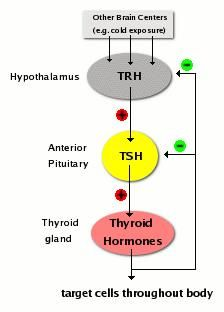 Hypothyroid-like symptoms, energy balance, and diet quality