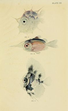Young Fish Taken at the Surface in Mid-Ocean, plate from 'The Arcturus Adventure' by William Beebe, 1926