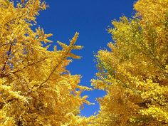 Ginko Trees #flickr #photo #iphoneography #japan