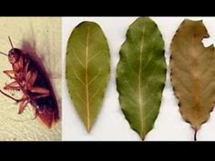 Bay Leaves Could Be A Way To Get Away From Cockroaches  Find it Here!  Place ten…