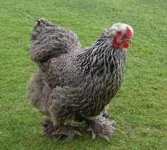 Dark Brahma Chicken Dark Brahma Chickens – Baby Chicks for Sale Best Egg Laying Chickens, Chickens And Roosters, Raising Chickens, Backyard Poultry, Chickens Backyard, Small Chicken Breeds, Dark Brahma, Wyandotte Chicken, Chicks For Sale