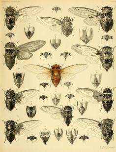 A monograph of oriental Cicadidæ. Distant, William Lucas, 1845-1922. Biodiversity Heritage Library.