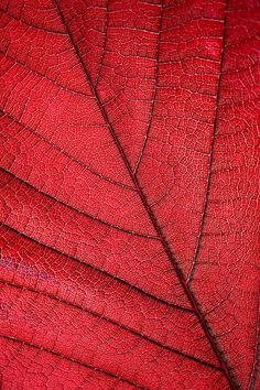 red leaf by Jim Zuckerman