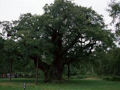 Major Oak, Sherwood Forest, Nottinghamshire.