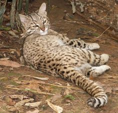 Geoffrey cat  /' subspecies :  O.g. euxantha,  O. g. paraguae, O. g. geoffroyi and  O. g. salinarum. // Other names for the Geoffroy's cat are Geoffroy's ocelot and gato montes (mountain cat). The feline was named after the French naturalist Geoffroy St. Hilaire.     76r5_geoffs_045.jpg (792×763)