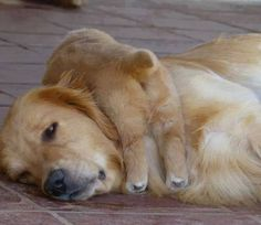 Golden mama and baby