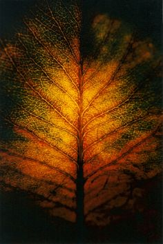 Back-lit fall leaf looks like tree branches Autumn Trees, Autumn Leaves, Golden Leaves, Tree Leaves, Tree Branches, Natural World, Holidays And Events, Beautiful World, Mother Nature