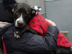 TO BE DESTROYED 12/12/14 Manhattan Center -P  MOMMA - A1021934  *** AVERAGE HOME ***  FEMALE, BLACK / WHITE, PIT BULL MIX, 1 yr, 1 mo OWNER SUR - EVALUATE, NO HOLD Reason MOVE2PRIVA