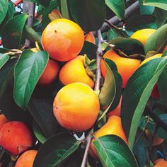 A uniquely cold-hardy tropical tree. Large, seedless persimmons have a conical shape, and are firm and crunchy, with the sweet taste of fresh sugar.
