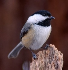 Probably our most regular bird visitor, the Chickadees enjoy sunflower seeds from our feeder every day Love Birds, Beautiful Birds, Bird Feeding Station, Black Capped Chickadee, Different Birds, State Birds, Chickadees, Lovely Creatures, Backyard Birds