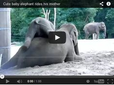 If you're a mom, you will definitely relate to this! Isn't it a true fact that children decide to get rowdy just when you are ready for that much needed nap? Well, this momma elephant knows the struggle. Watch and delight yourself as this playful baby elephant just won't let mommy rest!