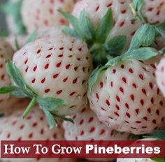 How To Grow Pineberries - Sweet taste just like pineapple...