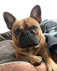 Mr Gizmo, French Bulldog