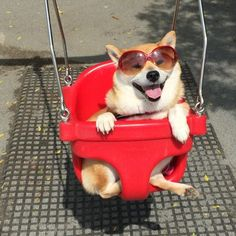 One piece of happiness in this strange new world is Uni-chan the Shiba Inu.  Uni-chan became internet famous after a funny photo of her enjoying a ride on a swing out of all things were shared on Imgur.