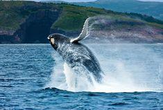 Following the Capelin: Whale Watching in Newfoundland https://t.co/pIjwKInz6N https://t.co/eWQpfziUKI