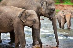 Asian elephants - Play this jigsaw puzzle online: http://www.jspuzzles.com/puzzle.php?puzzle=2456575&pin