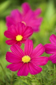 Cosmos flower. | Flickr - Photo Sharing!