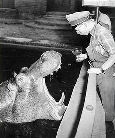 """'Knautschke' aus dem Berliner Zoo erhaelt von seinem Waerter eine """"Berliner Weisse mit Schuss"""" im Juni 1953"""