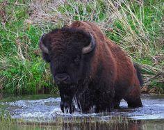 Creek Crossing Spotted this bison (buffalo) bull crossing Panther Creek where it flows into Burford Lake. Bison Buffalo Bull taken at the Wichita Mountains Wildlife Refuge / Bison Wildlife Photography / Randy's Wildlife Photography