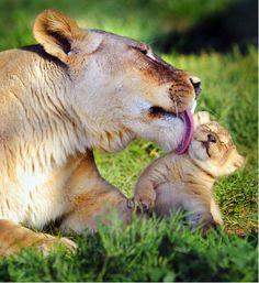 mamma e cucciolo id leone