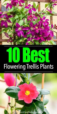 Flowering Vines: What Are 10 Of The Best Trellis Plants? Choosing the ideal trellis plants is challenging. Plenty of climbing plants, flowering vines exist each holding a beauty and characteristic. [LEARN MORE] Garden Plants, Container Gardening, Trellis Plants, Climbing Flowering Vines, Perennials, Plants, Planting Flowers, Organic Gardening, Landscaping Plants