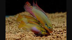 pelvicachromis taeniatus moliwe