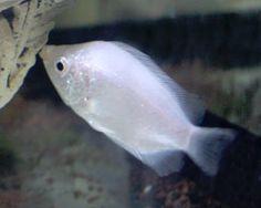 Pez besucón: Helostoma temminkii, conoce a este curioso pez y el hecho de denominarse pez besucón o besador.