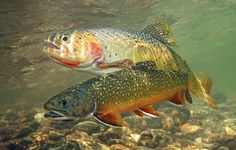 Brown Trout and Brook Trout Photos - Trout Photos