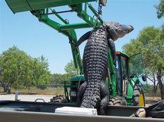 O jacarél de aproximadamente 360 quilos e 4,3 metrospode ter entre 30 e 50 anos de idade